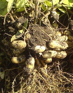 Боби і вирощування арахісу