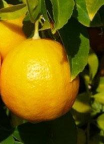 Вирощування лимону