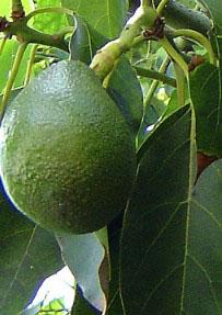 Вирощування  авокадо