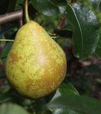 Вирощування груши
