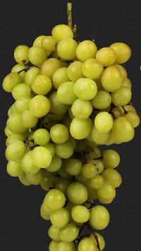 Підв'язка винограду