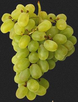 Нагляд за виноградом