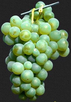 Зрошення виноградника