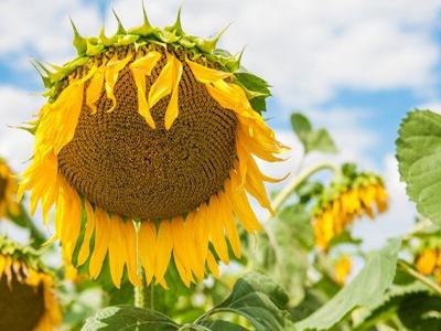 семена подсолнечника Украина