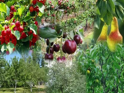 вишневые и яблочные деревья