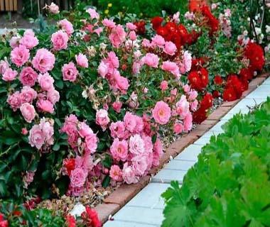 интернет магазин саженцев роз
