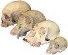 Фото 21.  Существуют четыре стадии антропогенеза.  Предшественники человека - австралопитековые.